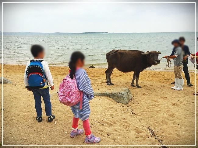 散歩中の牛と遭遇