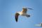 江ノ島のカモメ