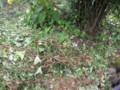 キカラスウリの残骸