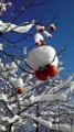 雪柿と青空