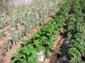 埼玉県は深谷市の「深谷ねぎ」以外にも葱栽培が盛ん