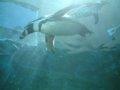 [風景][動物]147:旭山動物園・ペンギン館…水槽のトンネルにて/2008.07.27