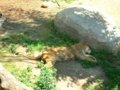 [風景][動物]151:やっぱり暑いものは暑い…旭山動物園・もうじゅう館/2008.07.27