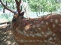 [風景][動物]152:エゾシカの太くて大きな角・旭山動物園/2008.07.27