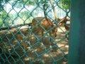 [風景][動物]153:エゾシカの太くて大きな角・旭山動物園/2008.07.27