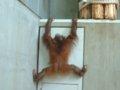 [風景][動物]155:旭山動物園・おらんうーたん館/2008.07.27
