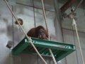 [風景][動物]156:見る/見られる…オランウータンのジャック/旭山動物園080727