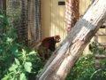 [風景][動物]164:旭山動物園・レッサーパンダ舎/2008.07.27