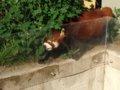 [風景][動物]165:旭山動物園・レッサーパンダ舎/2008.07.27