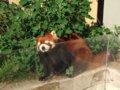 [風景][動物]166:旭山動物園・レッサーパンダ舎/2008.07.27