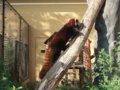 [風景][動物]167:旭山動物園・吊り橋へ登っていくレッサーパンダ/2008.07.27