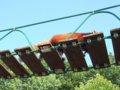 [風景][動物]168:旭山動物園・吊り橋を渡るレッサーパンダ/2008.07.27