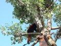 [風景][動物]169:旭山動物園・吊り橋を渡って反対側の木へ移ったレッサーパンダ