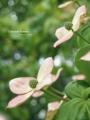 [北海道][花]アカバナヤマボウシ