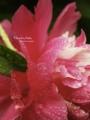 [水滴][花]6月27日 札幌は雨