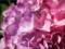 2013/7 紫陽花