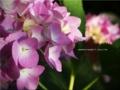 [北海道][定山渓]2013/7 紫陽花