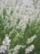 白いラベンダー 2013/7