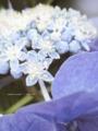 [花]お散歩(他人の庭の紫陽花)