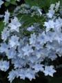 向島百花園で見た紫陽花「墨田の花火」