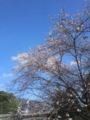 会社の庭で桜が満開(四季桜)