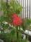ベランダの曼珠沙華が開花した