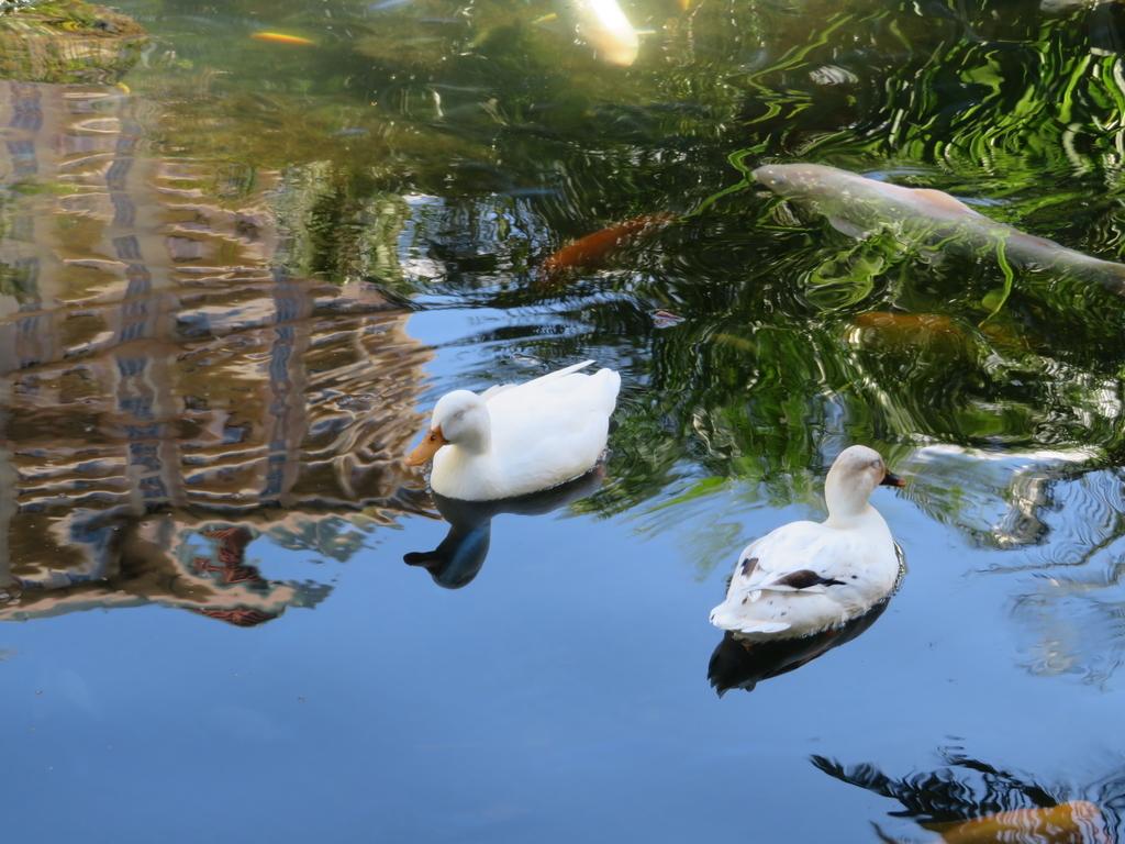ホテルの敷地内の池にアヒル