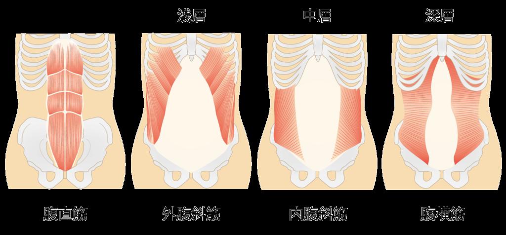 腹部の筋肉