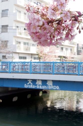 140309河津桜2