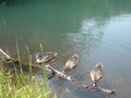 [公園]鴨