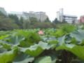 [公園]蓮の花