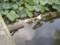 亀、アヒル、鯉、蓮