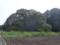 印旛吉高の大桜