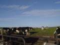 美ヶ原高原牧場 牛
