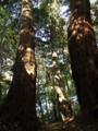 [神社][木]菅原神社 - 千葉県八千代市下高野
