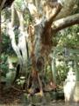 [神社][木]渡海神社 - 千葉県銚子市高神西町