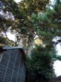 [神社][木]飯積の大杉 伊豆神社 - 千葉県酒々井町飯積