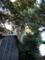 飯積の大杉 伊豆神社 - 千葉県酒々井町飯積
