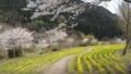 桜の次は、菜の花かなぁ?