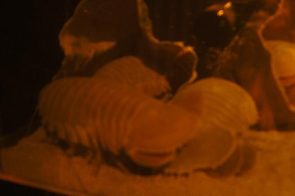 ダイオウグソクムシのしり