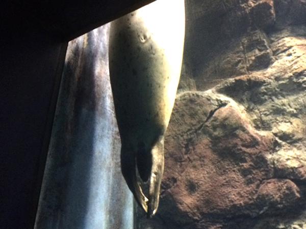 海遊館の刺さってるアザラシ