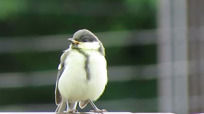 シジュウカラ ヒナ 巣立ち 可愛い 幼鳥