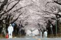 <福島第1原発>警戒区域の桜満開 富岡・夜の森公園 毎日新聞 4月1