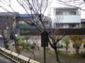 [京都旅行(一日目)]三代目墨染桜