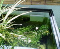 水槽に水草の花清い水