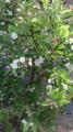 姫りんご可愛い花のにおう庭