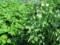 エンドウ豆とジャガイモ葉ばかり繁る