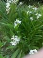 ウコンですか?咲いて増えてる白い花