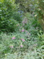 ホタル袋が幅を利かせて野辺に咲く