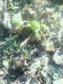 菜園で芽をだしました蕗の薹
